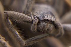 Australian huntsman Spider (Schlingshot Photography) Tags: tonykemp schlingshot spider huntsman australianfauna
