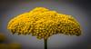 Yellow umbrella flower (Pejasar) Tags: yellow umbrellashape bloom blossom estespark colorado