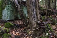 """""""Im Zauberwald"""" (anton_zach) Tags: waldviertel wald weitra steine stein moos mystisch pilz holz baum bäume blätter outdoor natur zauberwald"""