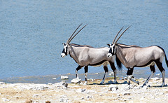 Ambling towards a new week (setoboonhong ( Back and catching up )) Tags: travel etosha national park gemsbok oryx arid region namibia kalahari desert water hole outdoor antelope game drive horns