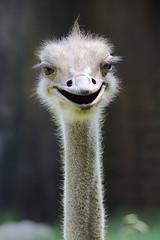 the look (ucumari photography) Tags: ucumariphotography ostrich bird animal nc north carolina zoo september 2017 dsc4789 specanimal
