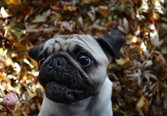 'Boo Being Boo' (DaPuglet) Tags: pug pugs dog dogs pet pets animal animals nature leaves autumn fall leaf funny fun cute coth5 fantasticnature