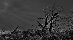 Moonlight in Texas..... (tomk630) Tags: nature beauty night mesquite tree old texas quiet moonlit hill country moonlight