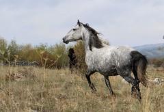 IMG_1155 (Amir Guso) Tags: horse pferd animal tier autumn herbst canon 70d eos horses natur bosnia wildlife outdoor energy