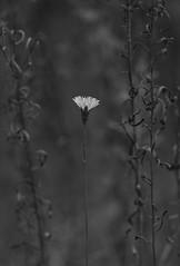 oct30 2017 7 (Delena Jane) Tags: delenajane dfo dandelion blackandwhite macro mono single flower newfoundland ngc canada conceptionbaysouth closeup pentaxart