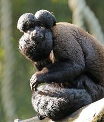 bearded saki Apenheul BB2A2093 (j.a.kok) Tags: saki beardedsaki baardsaki aap animal apenheul mammal monkey zoogdier dier zuidamerika southamerica