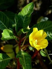 *Ludwigia peploides ssp. peploides, CALIFORNIA WATER PRIMROSE (openspacer) Tags: aquatic ludwigia nonnative onagraceae waterprimrose