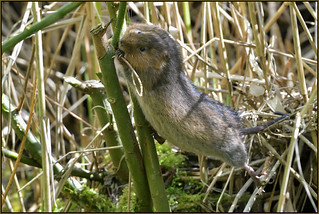 Water Vole (image 1 of 3)