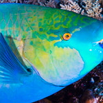 Rusty Parrotfish, terminal phase - Scarus ferrugineus thumbnail