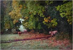 Saint Eloi - Guiscriff - Automne 2016 (Philippe Hernot) Tags: sainteloi guiscriff morbihan bretagne automne vaches cornouaille fujifilmx100t fujifilm fuji posttraitement
