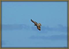 Soaring Hawk (Harry Lipson) Tags: hawk soaring soaringhawk raptor hunting hunter birding winged wings talons beak flight flying feathers soar harrylipson harrylipsoniii sky bird birdwatching flyer