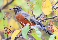 American robin at Lake Meyer Park IA 854A9485 (lreis_naturalist) Tags: american robin eating crabapple lake meyer park winneshiek county iowa larry reis