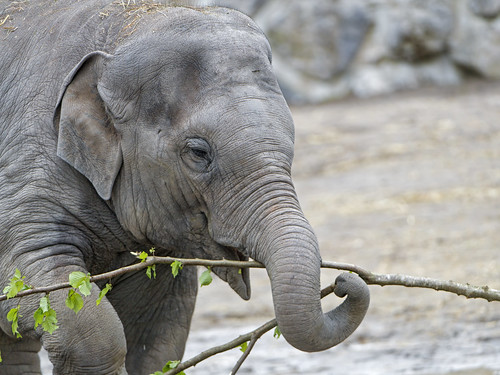 Kalaya playing with a branch