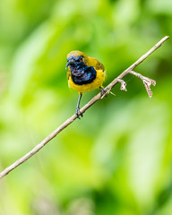 20170911-EM128134 (shutterblades) Tags: birds olivebackedsunbird olympusem1mkii olympusmzuiko300mmf4pro riversafari singaporezoo ii