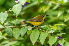 20170923-EM123849 (shutterblades) Tags: birds olivebackedsunbird olympusem1mkii olympusmzuiko300mmf4pro riversafari singaporezoo