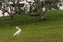 UN AIRONE    ----    A HERON (Ezio Donati is ) Tags: foresta forest uccelli birds airone heron radura clearing alberi trees erba grass panorama landscape africa costadavorio areabigerville