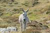 Alpine donkey (David Thyberg) Tags: france animal 2017 nature donkey chamonix alpes ass equusafricanusasinus åsna