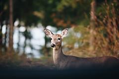 Edit -1-18 (Dane Van) Tags: canadacreekranch atlantamichigan 5dclassic 135l deer