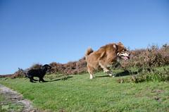 10/12/A tasku - forest frolic (sure2talk) Tags: forestfrolic tasku finnishlapphund tiva flatcoatedretriever puppy newforest chase play nikond7000 tamron18270mmf3563dillvcpzd action 117picturesin20174worldanimalday explore