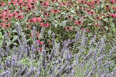Bergamot And Lavendar (ClydeHouse) Tags: oxford kitchengarden greatmilton lavendar herbgarden lemanoirauxquatsaisons lunch resturant raymondblanc garden byandrew 50birthday bergamot