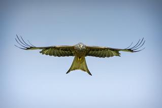 Red Kite Soaring