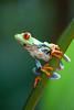 Costa-Rica-5838.jpg (ingmar_) Tags: costarica fauna gezin kikker natuur vakantie zomervakantie