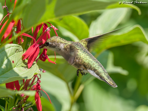 """Ruby-throated Hummingbird (Lifer) • <a style=""""font-size:0.8em;"""" href=""""http://www.flickr.com/photos/59465790@N04/37491505162/"""" target=""""_blank"""">View on Flickr</a>"""