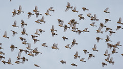Twites on the wing (Steve Balcombe) Tags: bird finch twite highland linnet carduelis linaria flavirostris flock goldfinch inflight staffin skye scotland uk