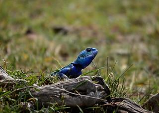 portrait agame bleu