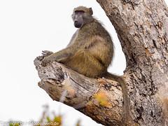 Chacma Baboon (xrxss15) Tags: africa animalia animals bärenpavian cercopithecidae chacmababoon krugernationalpark mammals monkeys mpumalanga papioursinus southafrica säugetiere tiere outofacar