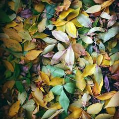 leaves (Anna Gelashvili) Tags: тбилиси дерево tree nutsubidzeplato tbilisi georgia ფოთლები ნუცუბიძისპლატო თბილისი საქართველო leaf