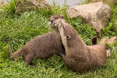Give me a kiss 500_1412.jpg (Mobile Lynn) Tags: marinemammals otter nature captive fauna mammal mammals wildlife studleygrange swindon wiltshire uk