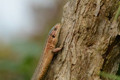 viviparous lizard, Zootoca vivipara (willjatkins) Tags: lizard lizards lizardsofeurope europeanreptiles europeanlizards wildlife europeanwildlife wildlifeofeurope reptiles reptile reptilesofeurope ukwildlife ukreptilesandamphibians ukamphibiansandreptiles ukreptiles uklizards britishwildlife britishamphibiansandreptiles britishreptilesandamphibians britishreptiles britishlizards welshwildlife welshreptiles pembrokeshirewildlife commonlizard viviparouslizard zootocavivipara zootoca closeupwildlife closeup macro macrowildlife nikond7100 sigma105mm