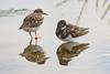 Turnstone (Shane Jones) Tags: turnstone birds bird wader wildlife nature nikon d500 200400vr tc14eii