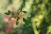 Bokeh is my canvas (1) (Karsten Gieselmann) Tags: apertureblending baum bokeh braun bäume domiplan50mmf28 em5markii grün microfourthirds natur olympus pflanzen vintagelens brown green kgiesel m43 mft nature tree trees