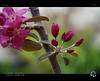 Plum Blossom II (tomraven) Tags: flower macro flowermacro closeup tomraven blossom plumblossom plum red green spring aravenimage q42017 sony a58