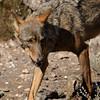 Canis lupus signatus (female) (Pedro R Martins) Tags: iberian wolf loboibérico lobo ibérico castilla léon