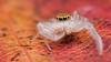 Hentzia mitrata jumping spider (Tibor Nagy) Tags: spider jumper jumpingspider salticid salticidae arachnid arthropod closeup flash diffused diffuser softbox macro hentzia mitrata