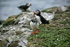 Lunch for the Puffin babies. (crafty1tutu (Ann)) Tags: travel holiday 2017 unitedkingdom uk england northumberland farneislands animal bird puffin sandeels island rocks crafty1tutu canon5dmkiii ef100400mmf4556lisiiusm anncameron water rock grass sea naturethroughthelens naturescarousel coth coth5