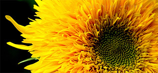 Sunflower 'Teddy Bear' (Helianthus Annuus L.) P9021771