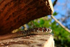 Ricarica solare (ondaeoliana) Tags: serpente snake biscia rettile reptile