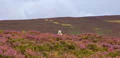 Who are Ewe?. (alan.irons) Tags: ewe sheep heather a928 glamis heathland hillside angus farming outdoor alone single