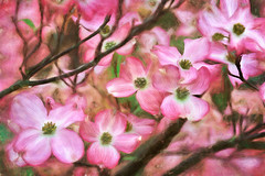 Just one more Dogwood pic with a touch of Impression (diane.cotton92) Tags: dogwood painterly pink flowers bracts tree topaz garden