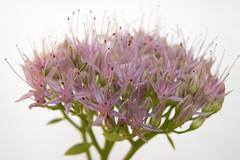 fiorellini 2 (gigiochef) Tags: macro fiori rosa lavanda rosso fiorellini