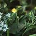 Ranunculus auricornus goldilocks. Forest Ganol 1989
