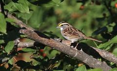 """ White-throated Sparrow / bruant à gorge blanche "" (ricketdi) Tags: bird bruantagorgeblanche whitethroatedsparrow zonotrichiaalbicollis"