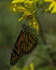 MonarchButterfly_SAF4347 (sara97) Tags: danausplexippus butterfly endangered insect missouri monarch monarchbutterfly nature outdoors photobysaraannefinke pollinator saintlouis towergrovepark