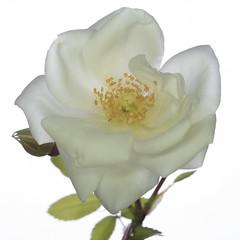 rosa bianca (gigiochef) Tags: macro fiori rosa lavanda rosso fiorellini