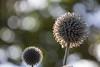 Backlit (Infomastern) Tags: botan botaniskaträdgården canonef100mmf28lisusmmacro lund backlit blomma bokeh flower macro makro