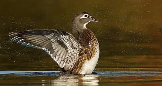 Canard branchu femelle \ Wood Duck Hen